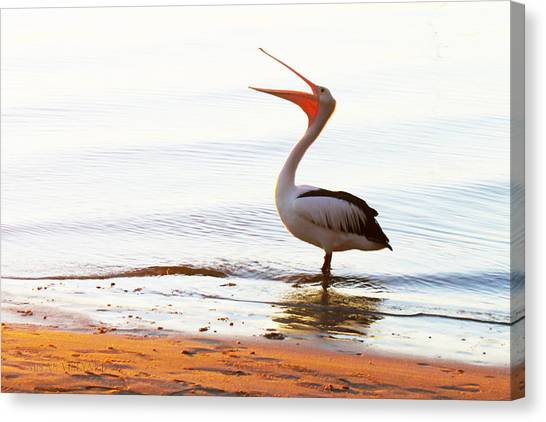 Sunshine Coast Pelican Canvas Print