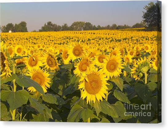 Sunshine Flower Field Canvas Print