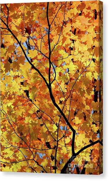 Canvas Print featuring the photograph Sunshine In Maple Tree by Elena Elisseeva