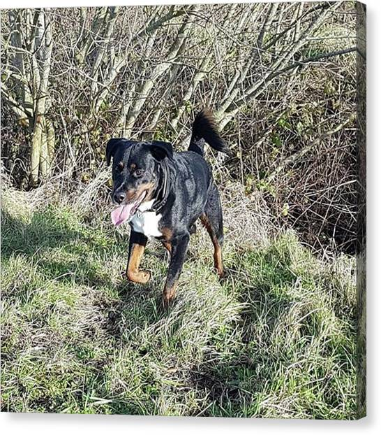 Rottweilers Canvas Print - After The Snow by Rowena Tutty