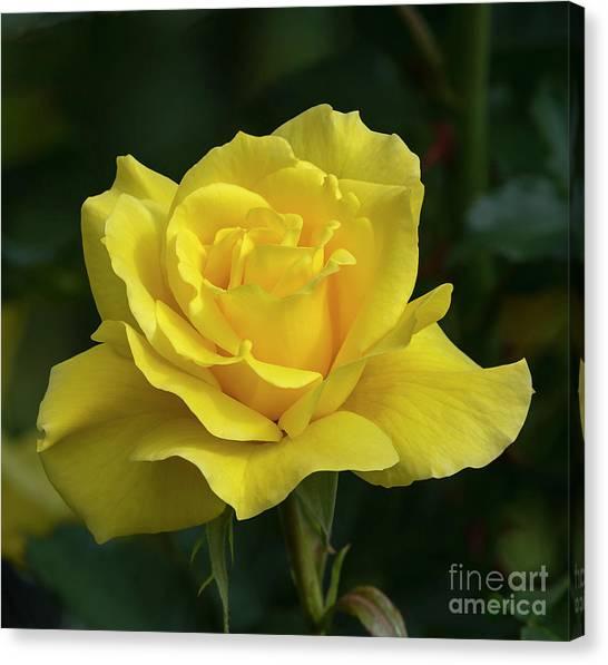 Sunsprite Rose 2 Canvas Print