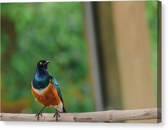Starlings Canvas Print - Superb Starling by Jamie Cook