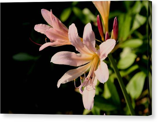 Surprise Lilly Canvas Print by Martin Morehead