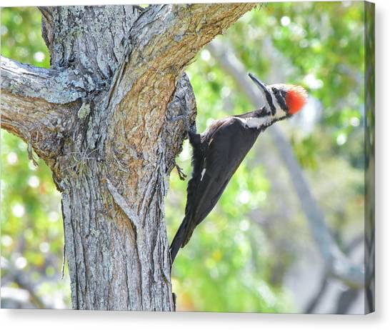 Surprised By Pileated Canvas Print