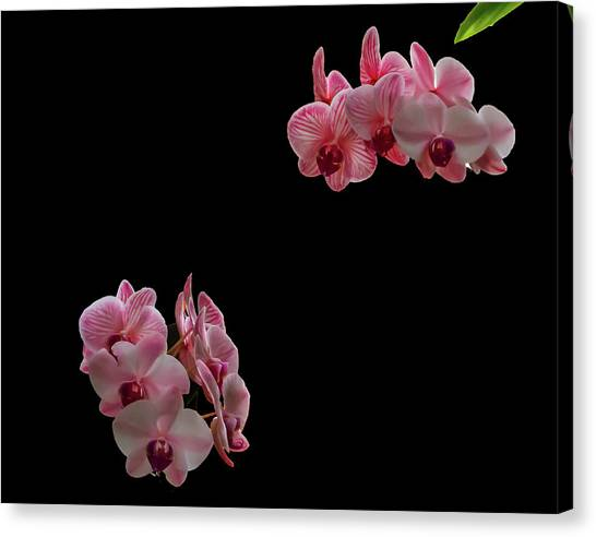 Suspended Orchids Canvas Print