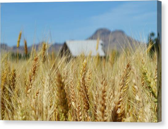 Sutter Buttes Wheat  Canvas Print