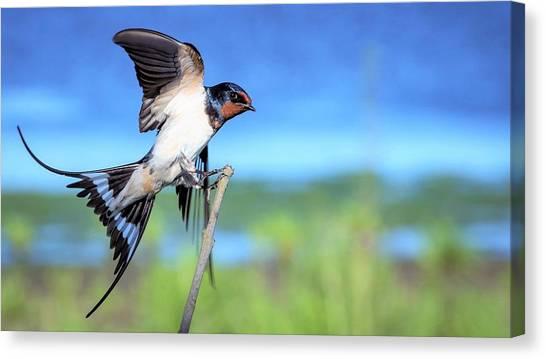 Swallows Canvas Print - Swallow by Mariel Mcmeeking