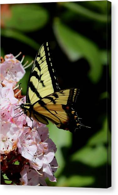 Swallow Tail On Mountain Laurel Canvas Print