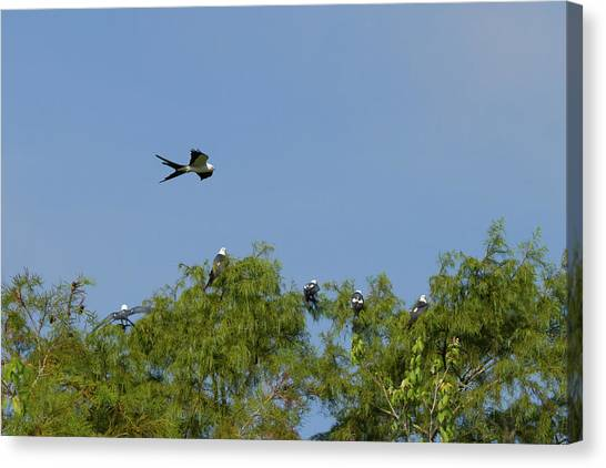 Swallow-tailed Kite Flyover Canvas Print
