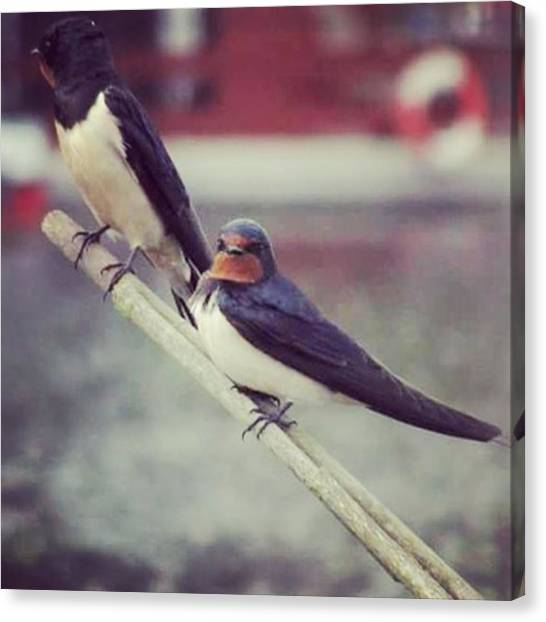 Swallows Canvas Print - Swallows #nature #bird #swallow by Darren Carpenter