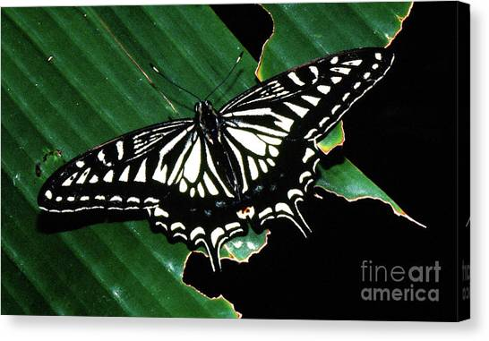 Swallowtail Butterfly- Close Canvas Print