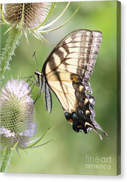 Swallowtail Delight Canvas Print