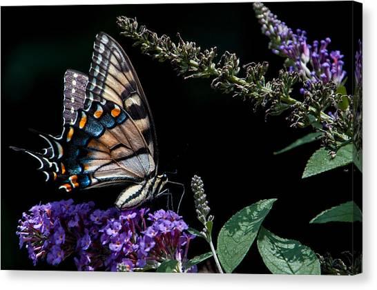 Swallowtail Posing Canvas Print by Ron Plasencia