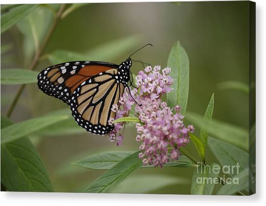 Swamp Milkweed Monarch Canvas Print