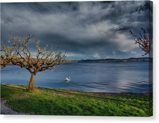 Swan And Tree Canvas Print