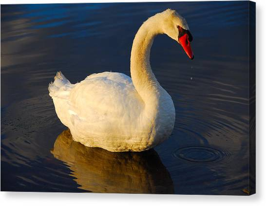 Swan Beauty Canvas Print