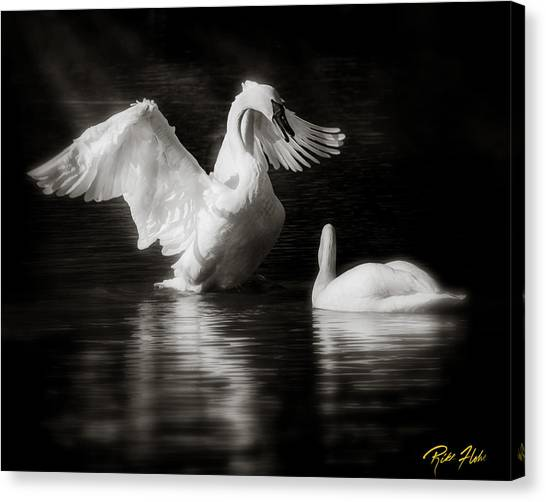 Swan Display Canvas Print