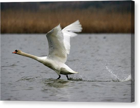 Swan During Take Off Canvas Print