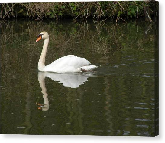 Swan Facing Left Canvas Print by Shannon Labout