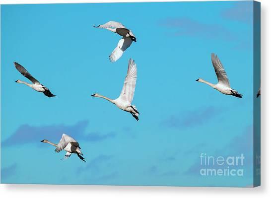 Tundras Canvas Print - Swan Flight by Mike Dawson