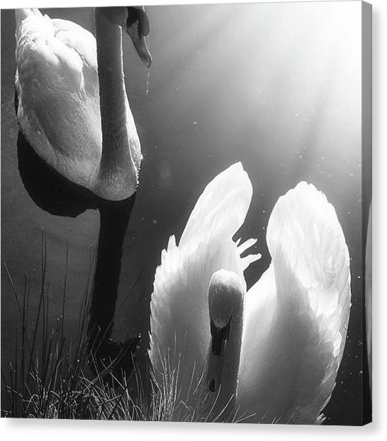 Birds Canvas Print - Swan Lake In Winter -  Kingsbury Nature by John Edwards