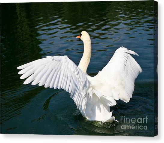 Swan Moment Canvas Print