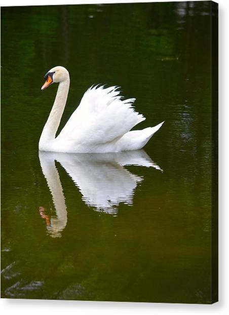 Swan Reflecting Canvas Print