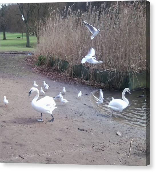Swans 4 Canvas Print