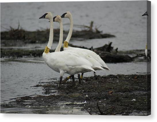 Swans Line Dancing Canvas Print