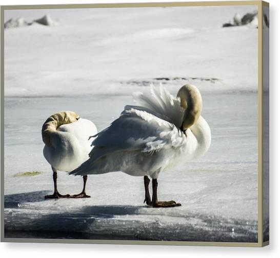 Swans On Ice Canvas Print