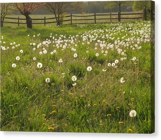 Swarming Dandelions Canvas Print