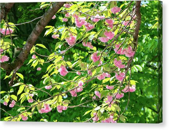 Sweeping Cherry Blossom Branches Canvas Print