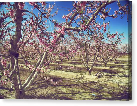 Fruit Trees Canvas Print - Sweet As Sugar by Laurie Search