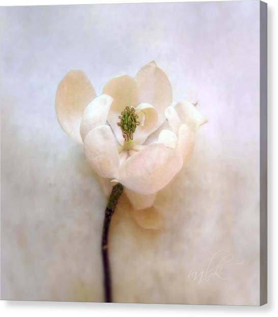 Sweet Bay Magnolia Bloom Canvas Print