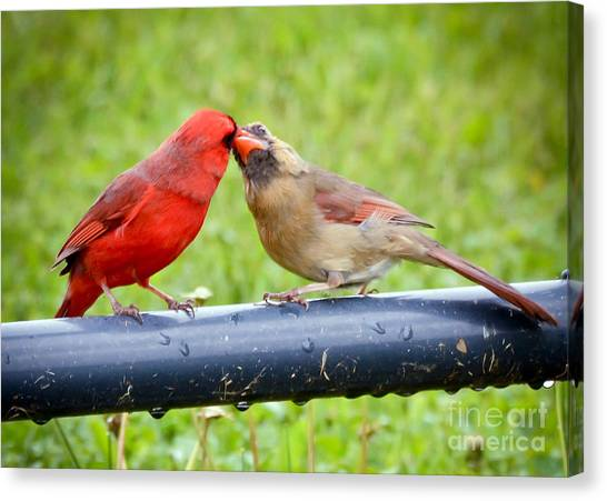Sweet Cardinal Couple Canvas Print