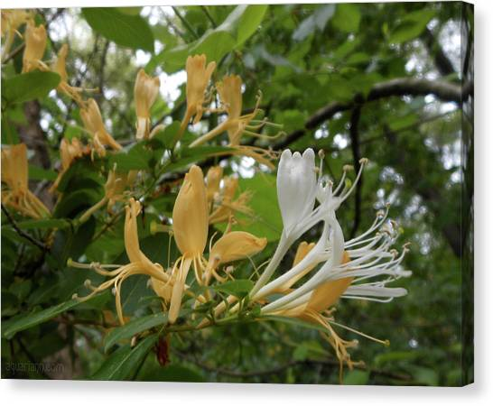 Sweet Honeysuckle Shrub Canvas Print