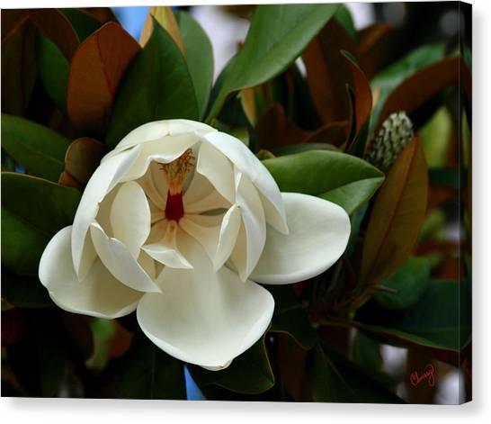 Sweet Magnolia Canvas Print