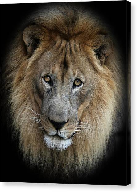 Sweet Male Lion Portrait Canvas Print