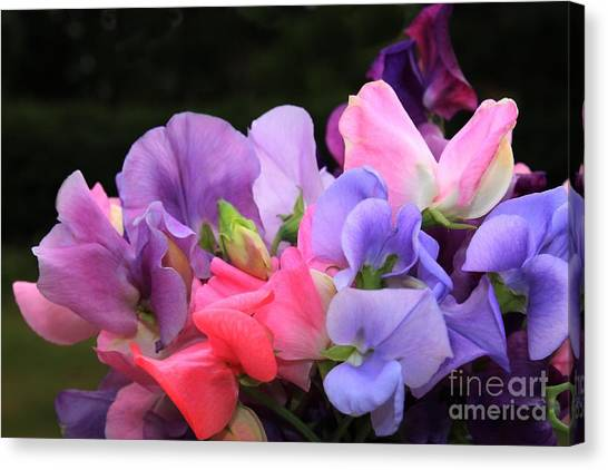 Sweet Pea Floral Canvas Print