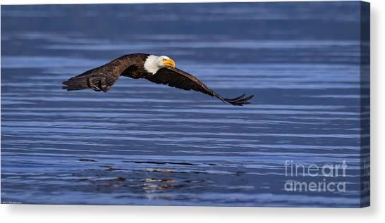 Eagle In Flight Canvas Print - Swift by Mitch Shindelbower