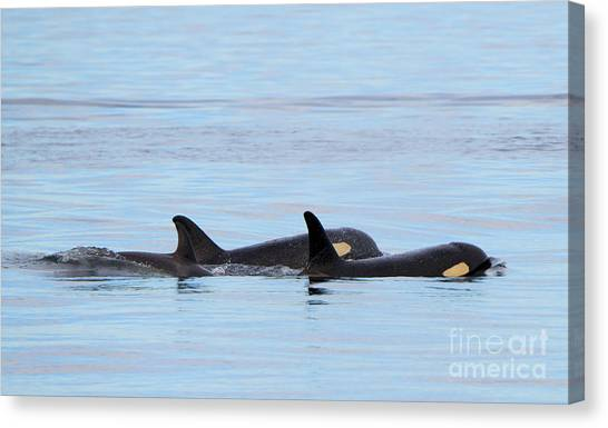 Orcas Canvas Print - Swimming Close by Mike Dawson