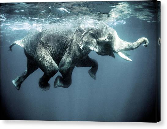 Swimming Canvas Print - Swimming Elephant by Olivier Blaise