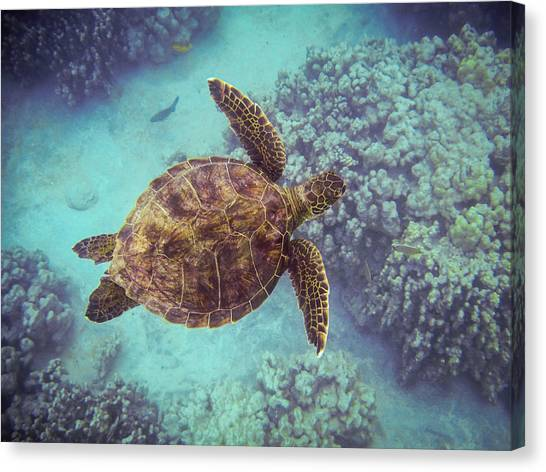Canvas Print featuring the photograph Swimming Honu From Above by Denise Bird