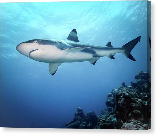 Black Tip Sharks Canvas Print - Swimming With Sharks by Keenan Woodmansee