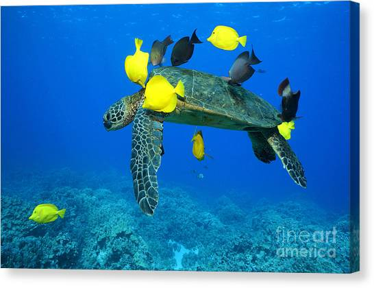 Parrot Fish Canvas Print - Symbiosis by Aaron Whittemore