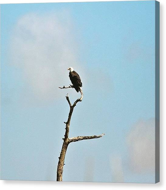 Swamps Canvas Print - Symbol Of Freedom #baldeagle #bayou by Scott Pellegrin