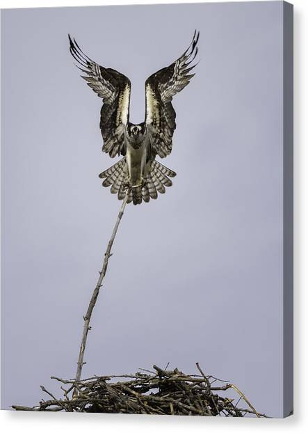 Osprey Canvas Print - Symmetry by Everet Regal