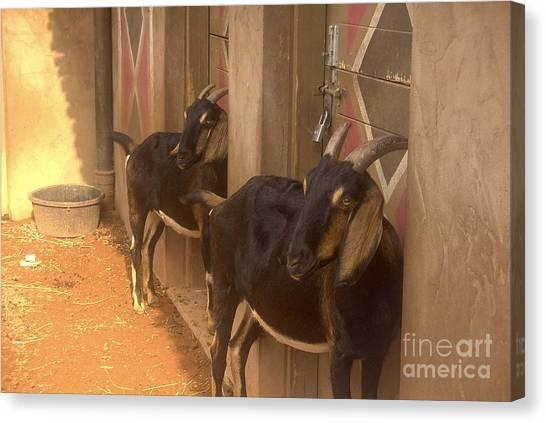 Synchronized Goat Standing Team Usa Canvas Print