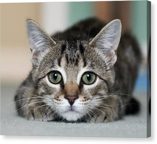 Pets Canvas Print - Tabby Kitten by Jody Trappe Photography