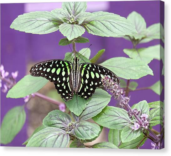 Tailed Jay Butterfly In Puple Canvas Print
